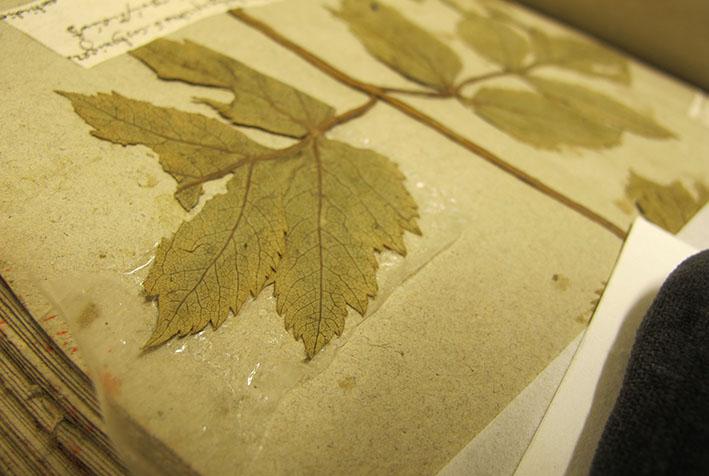 en tunn plastfilm med lim ligger under ett löst växtblad för att fästa limmet på baksidan av växtbladet