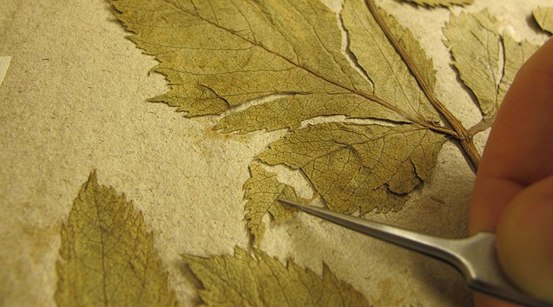 en hand med en pincett lägger ett skadat blad till rätt på ett herbariesida.