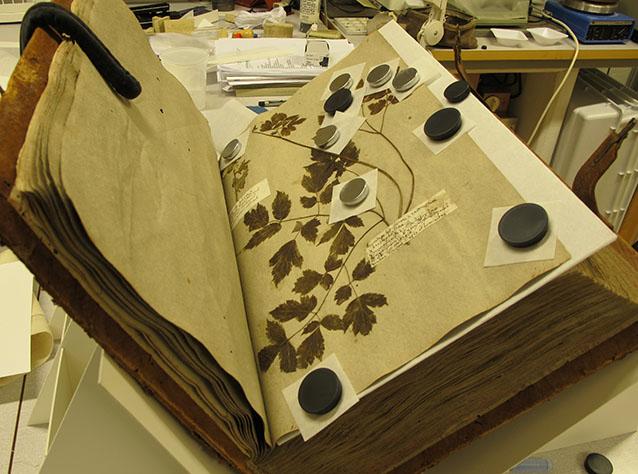 herbariet ligger uppslaget i en bokvagga, och växter på ett blad ligger i press under små runda tyngder