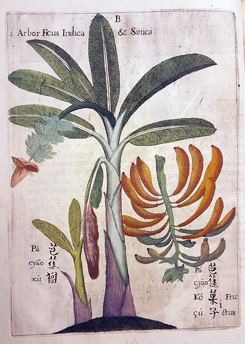 bild på ett bananträd med blomma och bananklase