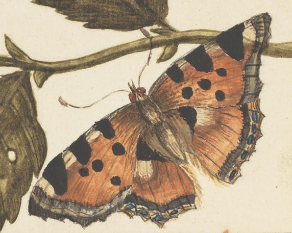 detalj från en teckning - en nässelfjäril med utbredda vingar