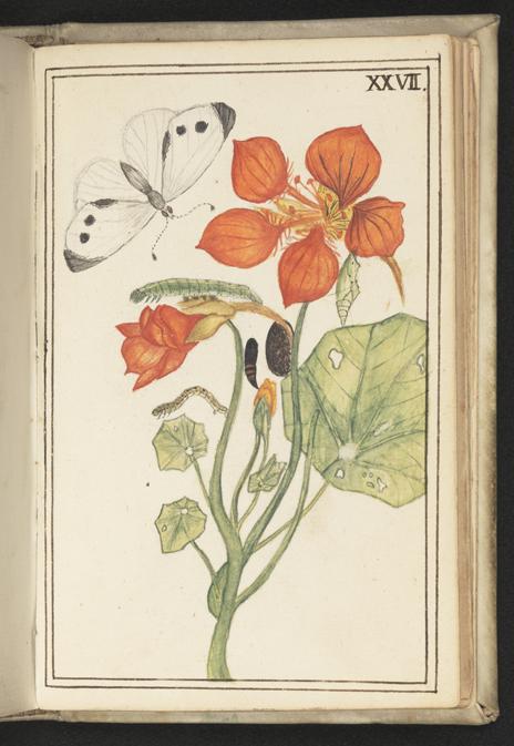 en vit fjäril med svarta prickar på vingarna vid blommande krasse i orange