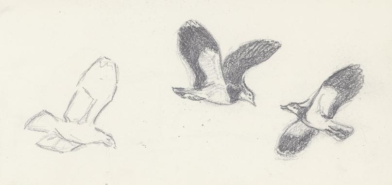 två flygande fåglar med svarta vingar och en skiss på en sådan
