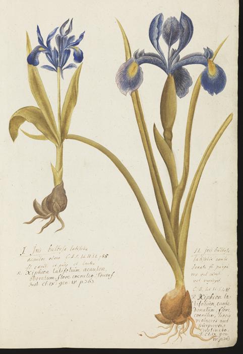 akvarellmålning av två blå irisar med stjälkar och lökar