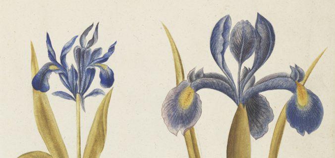två målade blå irisblommor med stjälkar och lökar