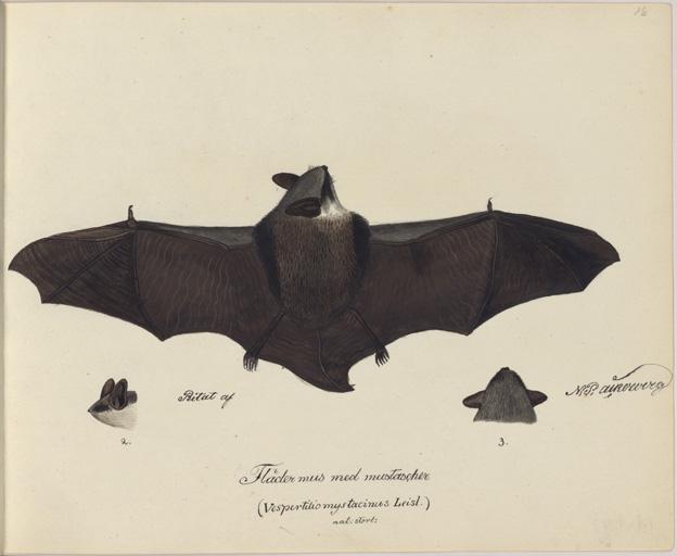 fladdermus avbildad ovanifrån med utsträckta vingar
