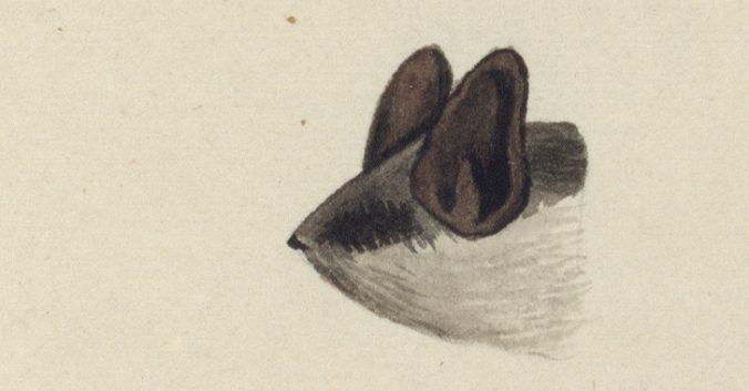 fladdermushuvud sett från sidan med vit haka och undersida, och brunt ovanpå huvudet och öronen