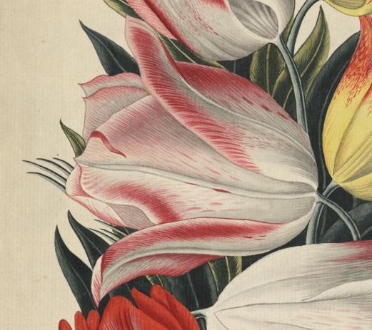 en vit tulpan med rosa kanter