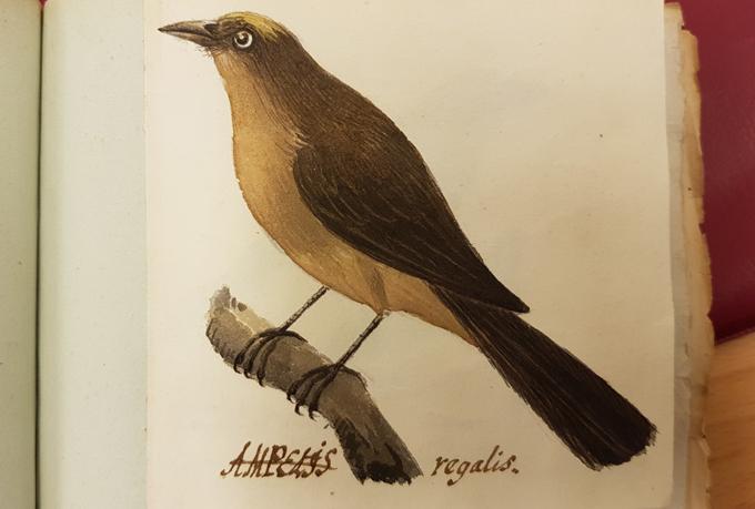 en brun fågel med ljusbrun mage och en gul tuss på huvudet sittande på en gren